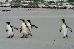 Grupp av konungen Penguins Arkivbild