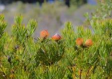 Grupp av konungen Protea, Proteacynaroides Royaltyfri Bild