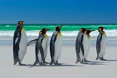 Grupp av konungpingvin, Aptenodytespatagonicus som går från vit sand till havet, artic djur i naturlivsmiljön, mörker - blå himme Royaltyfria Foton