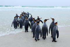 Grupp av konungpingvin, Aptenodytespatagonicus som går från vit sand till havet, artic djur i naturlivsmiljön, mörker - blå himme Royaltyfri Bild