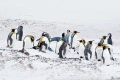 Grupp av konungpingvin i snön Vit livsmiljö med havsfåglar Pingvin i naturen Pingvinfamilj på den vita sandstranden royaltyfria foton