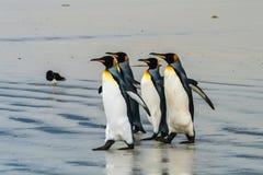 Grupp av konungpingvin som går till vattnet Royaltyfria Bilder