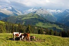 Grupp av kor i alps på Arkivfoto
