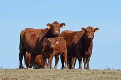 Grupp av kor som står i fält Arkivbilder