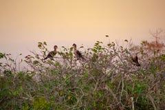 Grupp av kormoran i solnedgången Fotografering för Bildbyråer