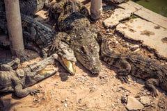 Grupp av krokodiler Fotografering för Bildbyråer