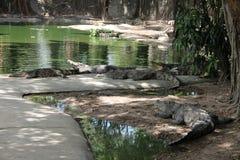 Grupp av krokodiler på semester Royaltyfria Foton