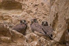 Grupp av lösa fågelungar för peregrine falk royaltyfria bilder