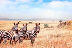 Grupp av l?sa sebror i den afrikanska savannet mot den h?rliga bl?a himlen med moln djurliv av africa tanzania royaltyfri fotografi