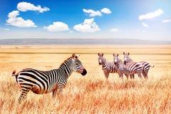 Grupp av lösa sebror i den afrikanska savannet mot den härliga blåa himlen med vita moln djurliv av africa tanzania Sereng fotografering för bildbyråer
