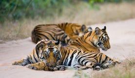 Grupp av lösa tigrar på vägen india 17 2010 för india för elefant för bandhavgarhbandhavgarthområde umaria för ritt för pradesh f Royaltyfria Bilder