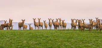 Grupp av löst hjortanseende på kullen i Nya Zeeland royaltyfri bild
