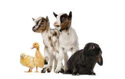 Grupp av lantgårddjur Fotografering för Bildbyråer