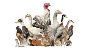 Grupp av lantgårdfåglar och gnagare som isoleras Royaltyfria Bilder