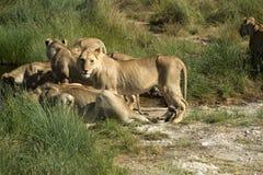Grupp av lejon, i rad på waterhole Arkivfoton