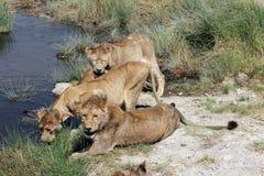 Grupp av lejon som dricker på en flod Royaltyfria Bilder