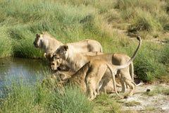 Grupp av lejon som dringing, en med svansen som är hög i aire Royaltyfria Foton