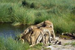 Grupp av lejon som framåtriktat lutar för att dricka Arkivbilder