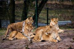 Grupp av lejoninnor Royaltyfria Foton