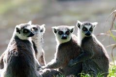 Grupp av lemurs Arkivfoto