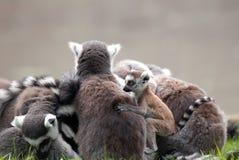 Grupp av lemurs Fotografering för Bildbyråer