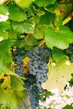 Grupp av lila druvor i vingård arkivbilder