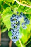 Grupp av lila druvor i vingård royaltyfria foton