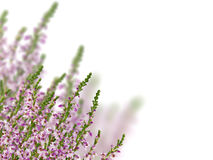 Grupp av ljung med purpura blommor på white Arkivbild