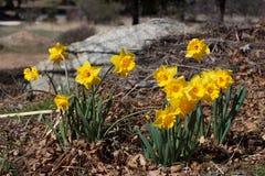 Grupp av ljusa gula vårpåskpåskliljor som blommar utanför i vår Royaltyfri Foto