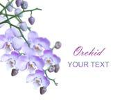 Grupp av ljusa lila orchids Royaltyfri Bild