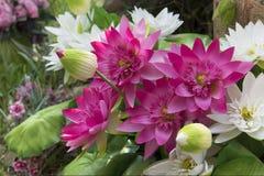Grupp av lotusblommablomman i trädgården Royaltyfria Foton