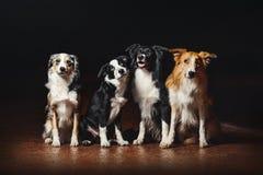 Grupp av lyckliga hundkapplöpninggränscollier Arkivfoton