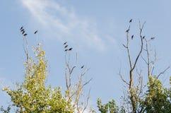 Grupp av många svarta galanden som står på de torra filialerna av ett stort träd, med bakgrunden av en härlig molnig blå himmel arkivfoto