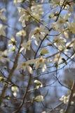 Grupp av magnoliablommor Royaltyfria Foton