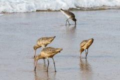 Grupp av Marbled Godwits som matar på kusten på Laguna Beach, Kalifornien Royaltyfri Fotografi