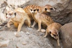 Grupp av meerkat royaltyfria foton