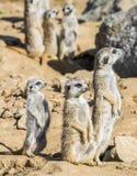Grupp av meerkats Fotografering för Bildbyråer