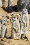 Grupp av meerkats Royaltyfria Bilder