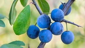 Grupp av mogna blåa slån på filial med gröna sidor Prunusspinosa royaltyfri fotografi