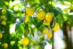 Grupp av mogna citroner på en citronträdfilial Royaltyfria Foton