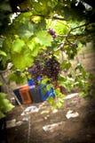 Grupp av mogna druvor i vingård Arkivbilder