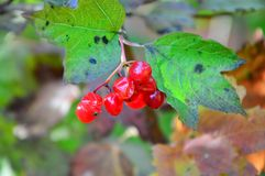 Grupp av mogna viburnumbär Arkivfoton