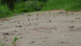 Grupp av myror som går på skogen, selektiv fokus, 4K stock video