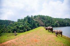 Grupp av närliggande bufflar den enorma sjön Royaltyfri Foto