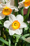 Grupp av Narcissus Tazetta cultivarblommor Arkivbilder