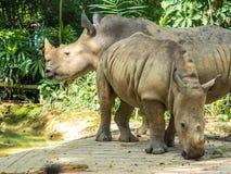 Grupp av noshörningar arkivbilder