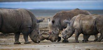 Grupp av noshörningar i nationalparken kenya Chiang Mai _ Arkivbild