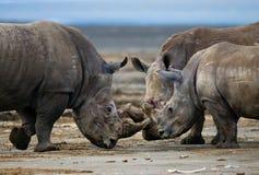 Grupp av noshörningar i nationalparken kenya Chiang Mai _ Royaltyfria Foton
