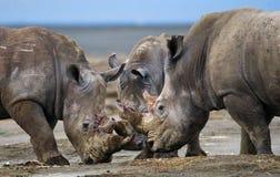 Grupp av noshörningar i nationalparken kenya Chiang Mai _ Royaltyfri Foto