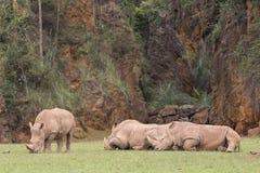 Grupp av noshörningar som ner ligger, och ett av dem som äter gräs Arkivfoton